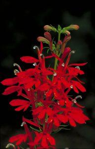 cardinal flower - top 10 flowers that attract butterflies and hummingbirds