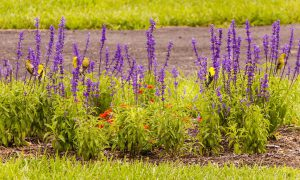 salvia - top 10 flowers that attract butterflies and hummingbirds
