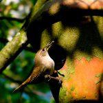 house wren - house wren nesting habits