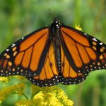 monarch butterfly - do birds eat butterflies
