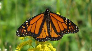 monarch butterfly - do birds eat butterflies