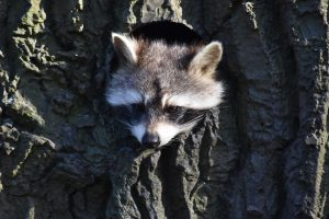 raccoon - keep raccoons out of your yard