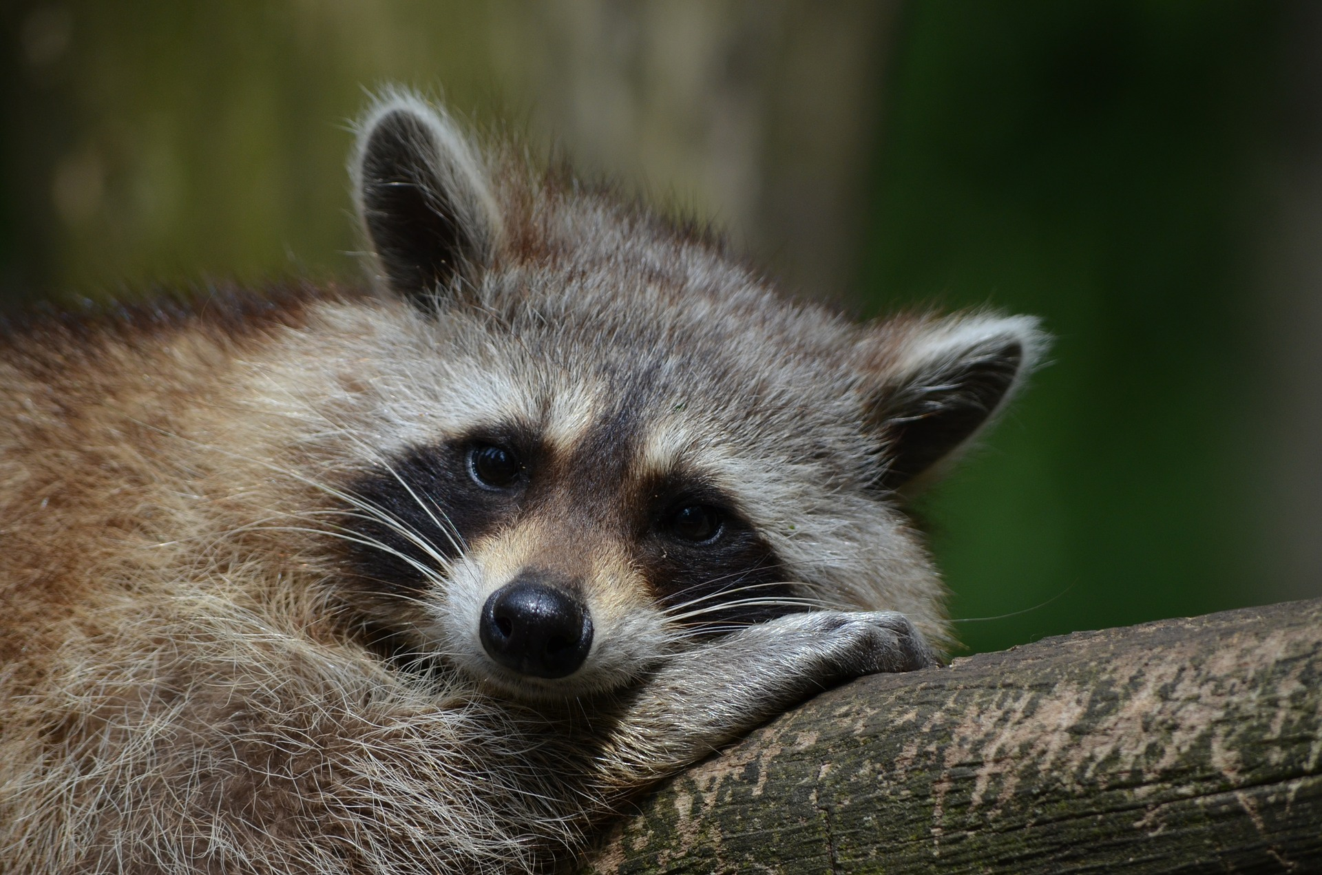raccoon- keep raccoons out or your yard