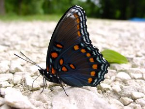 red spotted purple butterfly - do birds eat butterflies