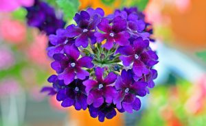 verbena - top 10 flowers that attract butterflies and hummingbirds