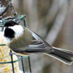 black capped chickadee - black capped chickadee or carolina chickadee