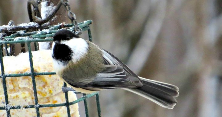 black capped chickadee - black capped chickadee or carolina chickadee