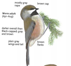 Boreal Chickadee - black-capped or carolina chickadee