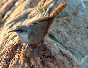 canyon wren - types of wrens north america