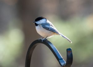 carolina chickadee - black capped or carolina chickadee
