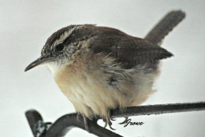 carolina wren - types of wrens of north america