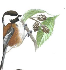 chestnut-backed chickadee - black-capped or carolina chickadee