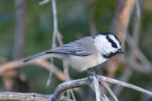 mountain chickadee - black-capped chickadee or carolina chickadee