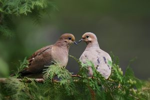 mourning doves - amazing facts about mourning doves