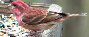 purple finch - red birds north america