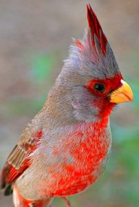 Pyrrhuloxia - red bird north america