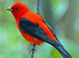 scarlet tanager - red birds-north america