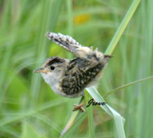 sedge wren - types of wrens north america