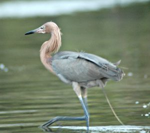 tricolored heron - what is a green heron
