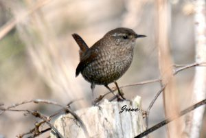 winter wren - types of wrens north america