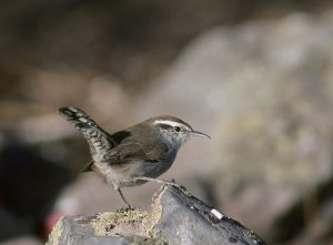 bewick's wren - types of wrens found in north america