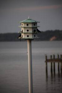 purple martin house - where are purple martins now