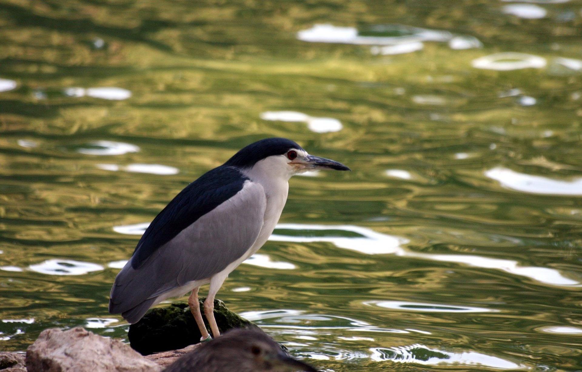 black crowned night heron - what is a green heron