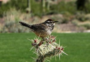 cactus wren - types of wrens found in north america