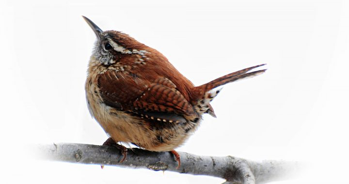 carolina wren - types of wrens found in north america