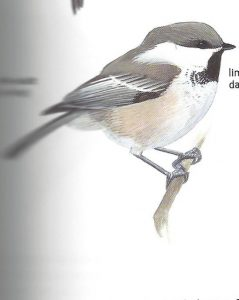 gray headed chickadee- black capped chickadee or carolina chickadee