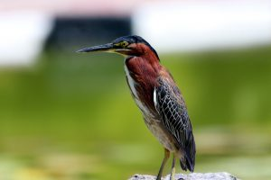 green heron - what is a green heron