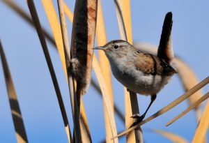 marsh wren - types of wrens found in north america