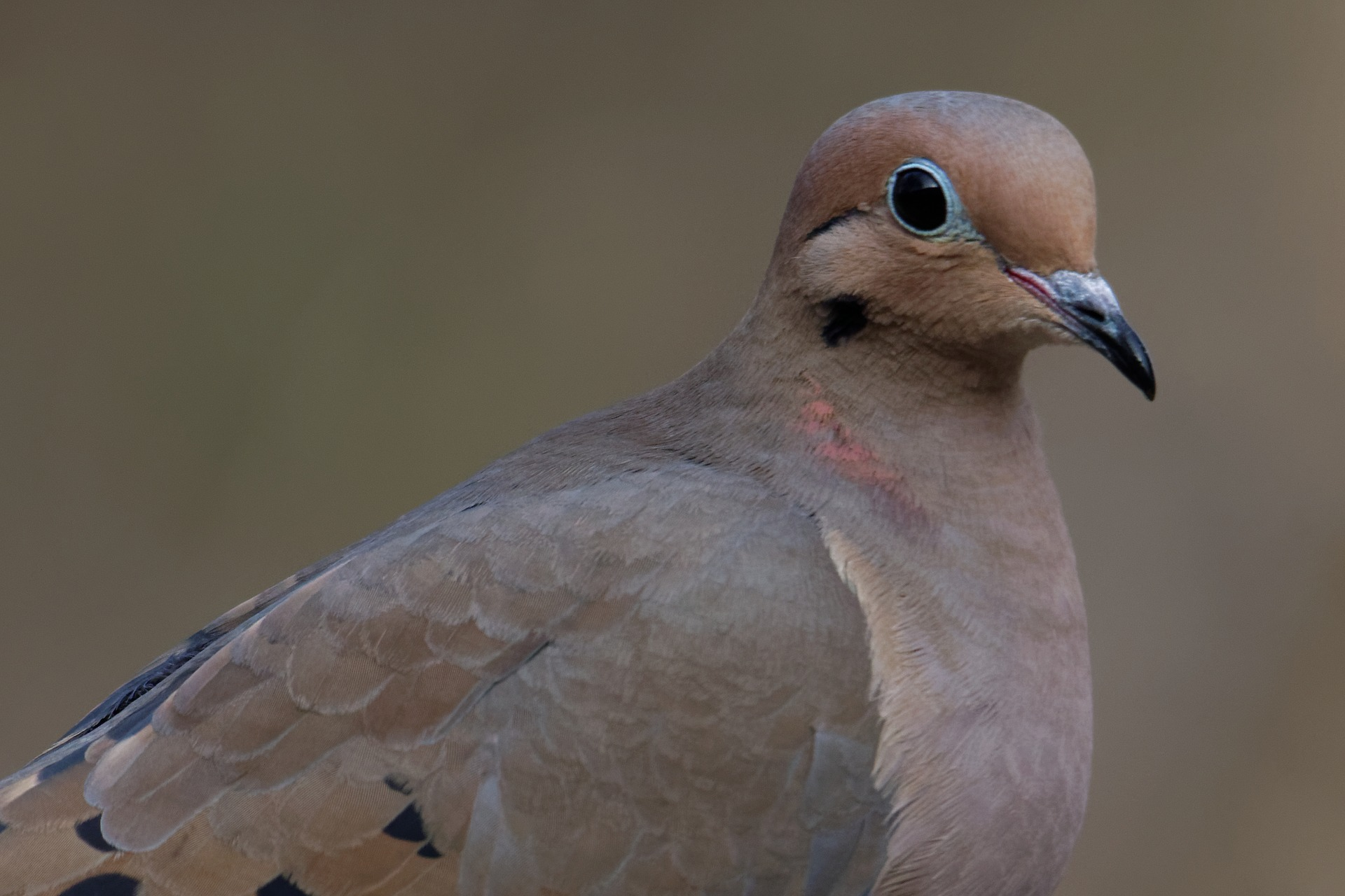 mourning dove - amazing facts about mourning doves