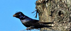 purple martin - where are purple martins now