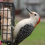female red-bellied woodpecker - red bellied woodpecker facts