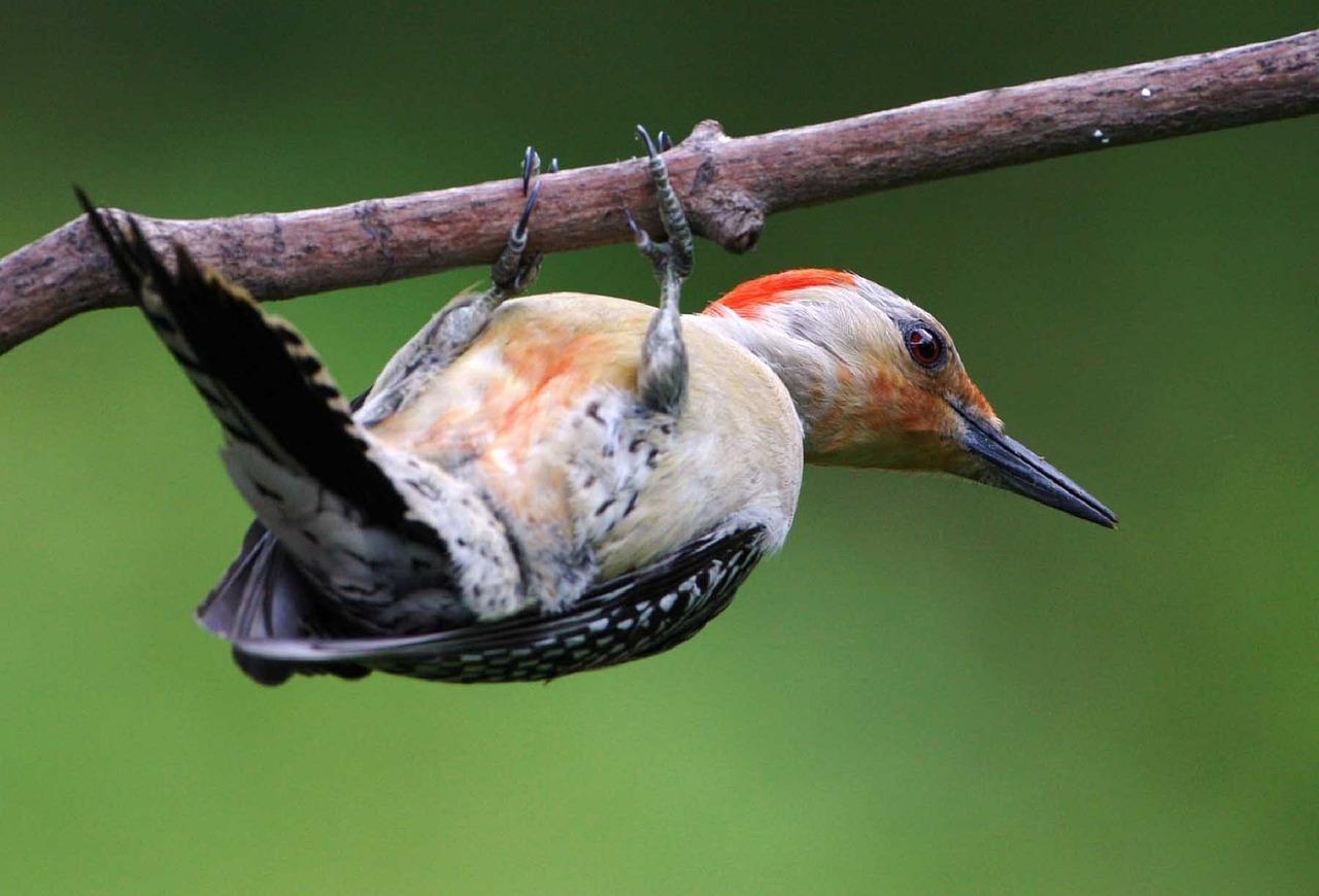 red bellied woodpecker - red bellied woodpecker facts