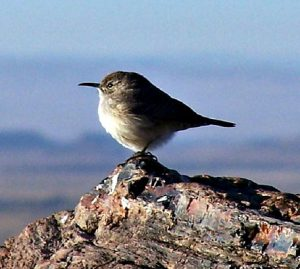 rock wren - types of wrens found in north america