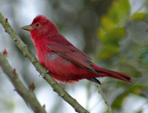 summer tanager - red birds north america