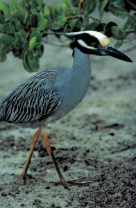 yellow crowned night heron - what is a green heron
