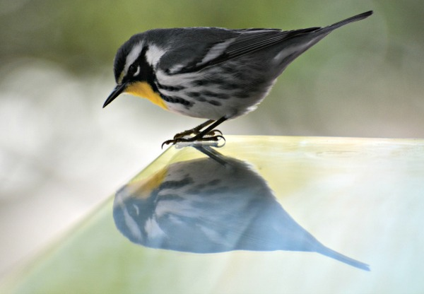 black and white warbler - fall bird migration