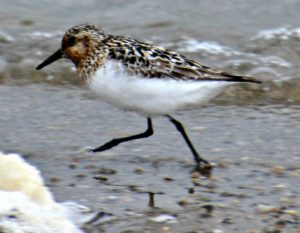 sanderling - when do birds fly south