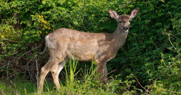 deer - how to keep deer away