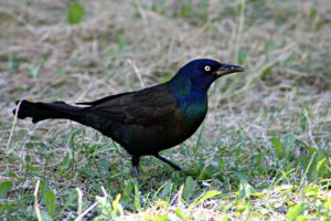 common grackle - do blackbirds migrate