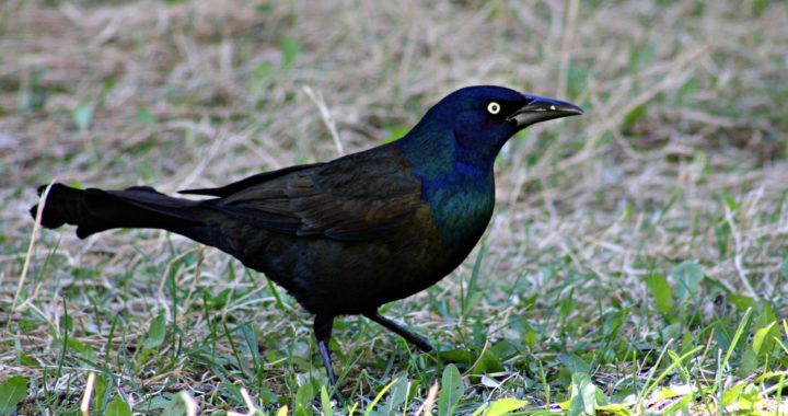 common grackle - do blackbirds migrate