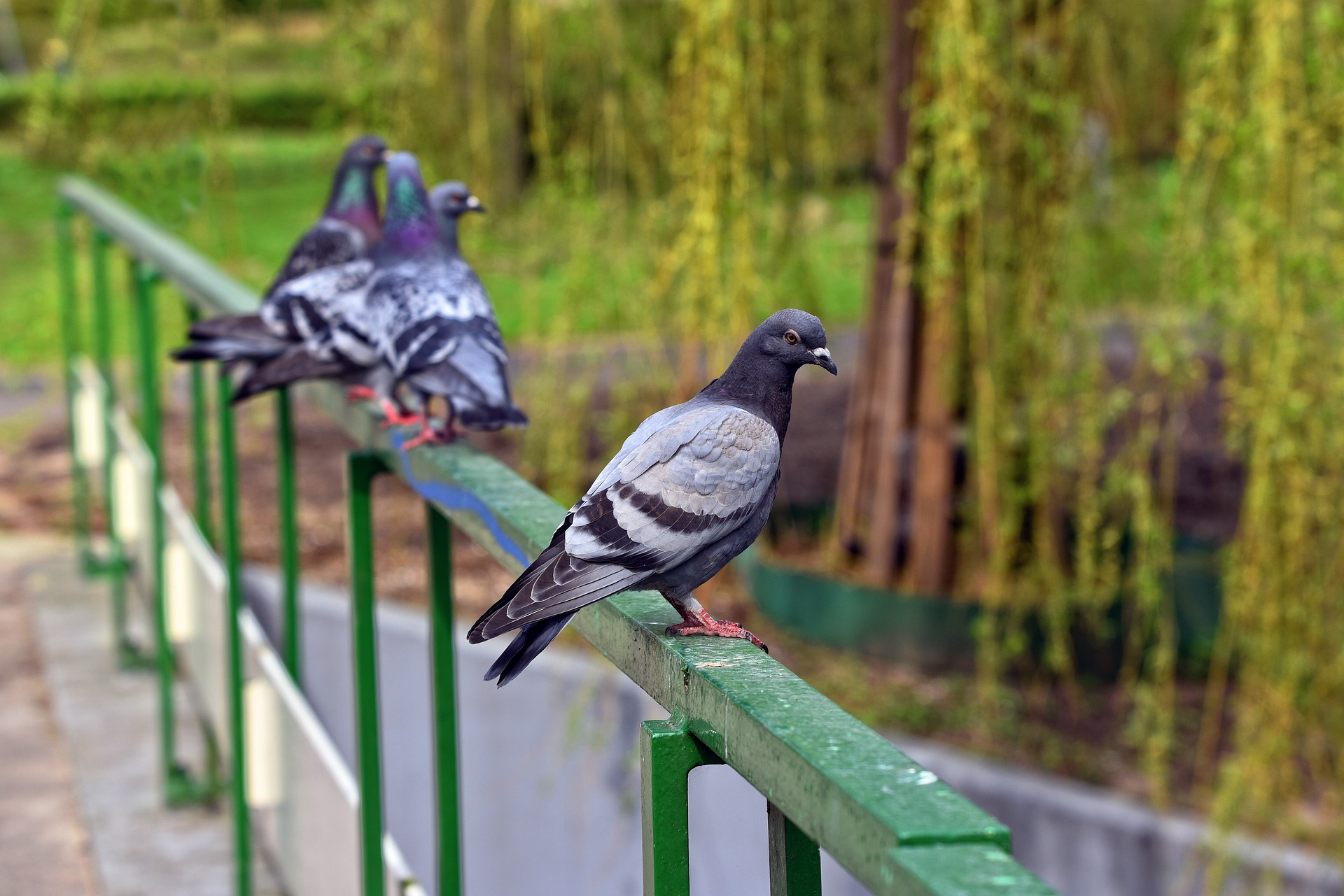 pigeons on railing- 6 effective ways to get rid of pigeons