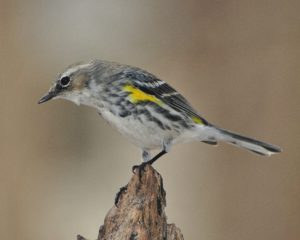 yellow rumped warbler - when do birds fly south
