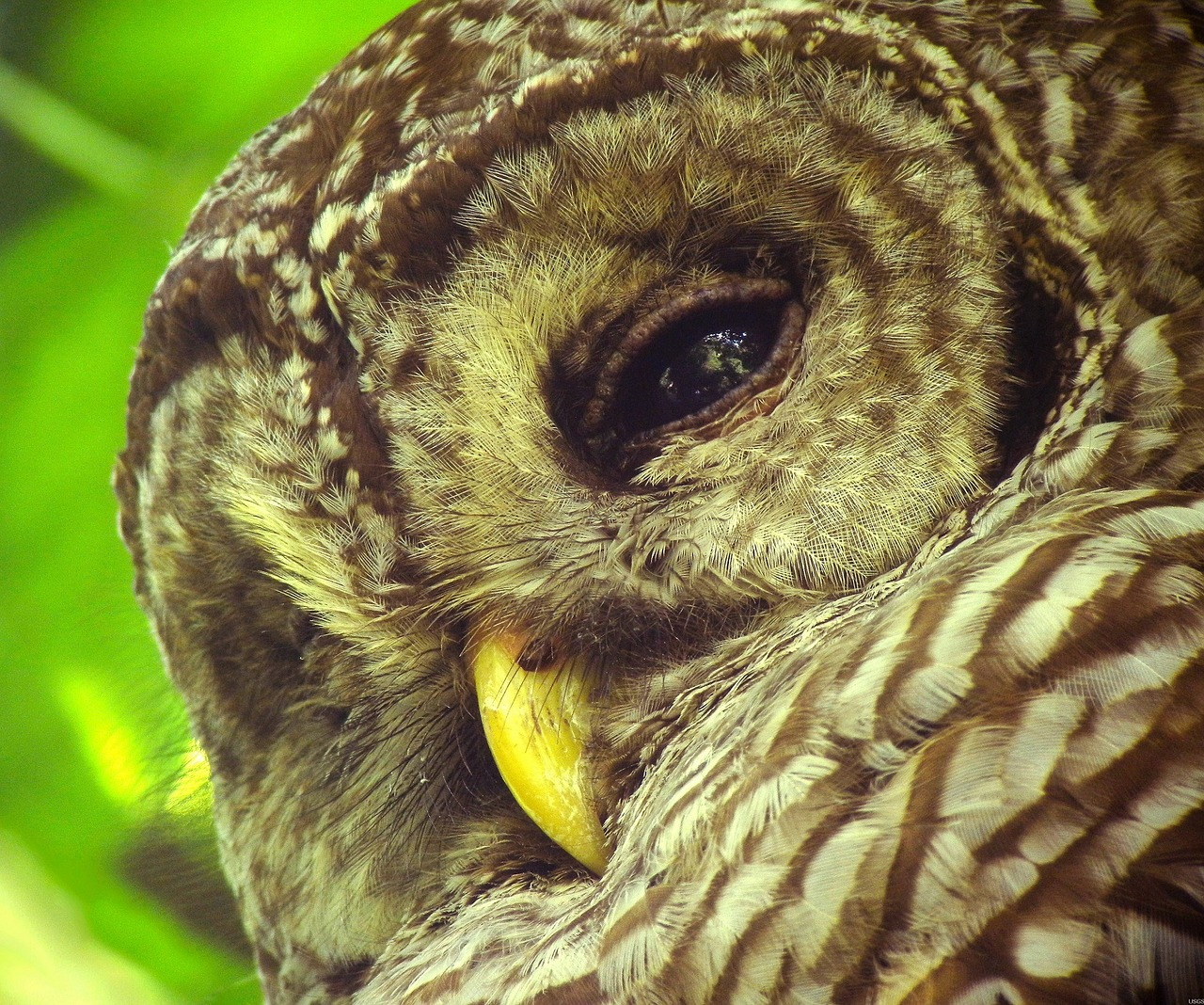 barred owl - where are barred owls