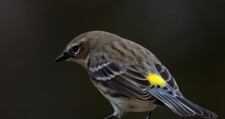 Yellow-rumped Warbler - birds in winter