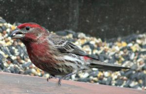 house finch male - purple finch or house finch - how to tell the difference