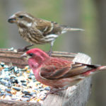 purple finch or house finch - how to tell the difference